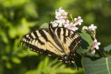Canadian Tiger Swallowtail _7MK7050.jpg