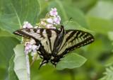 Canadian Tiger Swallowtail _7MK7781.jpg