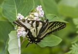 Canadian Tiger Swallowtail _7MK7782.jpg