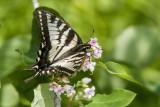 Canadian Tiger Swallowtail _7MK7783.jpg