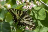 Canadian Tiger Swallowtail _7MK7797.jpg