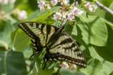 Canadian Tiger Swallowtail _7MK7799.jpg