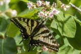 Canadian Tiger Swallowtail _7MK7801.jpg