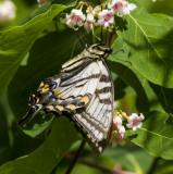 Canadian Tiger Swallowtail _7MK7811.jpg