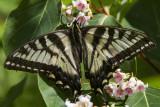 Canadian Tiger Swallowtail _7MK7818.jpg