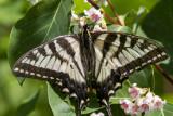 Canadian Tiger Swallowtail _7MK7822.jpg