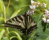 Canadian Tiger Swallowtail _7MK7840.jpg