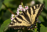 CanadianTiger Swallowtail _7MK6982.jpg