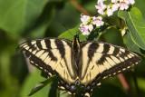 CanadianTiger Swallowtail _7MK6983.jpg