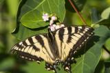 CanadianTiger Swallowtail _7MK6986.jpg