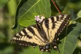 CanadianTiger Swallowtail _7MK6987.jpg