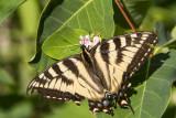 CanadianTiger Swallowtail _7MK6988.jpg