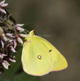 PINK-EDGED SULPHURS (Colias interior)