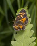 TAWNY CRESCENT (Phyciodes batesii)