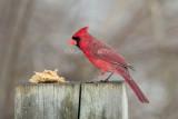 Northern Cardinal 58FB5298.jpg