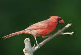 Northern Cardinal D4EC3997.jpg