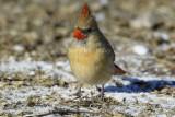 Northern Cardinal D4EC6004.jpg