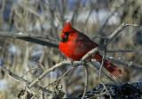 Northern Cardinal D4EC6152.jpg