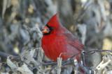 Northern Cardinal D4EC6241.jpg