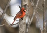 Northern Cardinal _11R1795.jpg