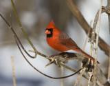 Northern Cardinal _11R1805.jpg