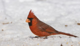 Northern Cardinal _11R1828.jpg