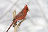 Northern Cardinal _11R1990.jpg