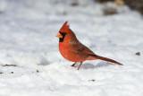 Northern Cardinal _11R2159.jpg