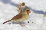 Northern Cardinal _11R2296.jpg