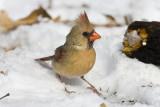 Northern Cardinal _11R2369.jpg