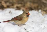 Northern Cardinal _11R2373.jpg