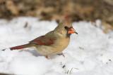 Northern Cardinal _11R2375.jpg