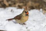Northern Cardinal _11R2376.jpg
