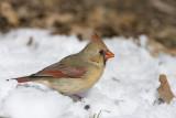 Northern Cardinal _11R2385.jpg