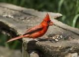 Northern Cardinal _7MK0097.jpg