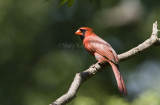 Northern Cardinal _H9G0320.jpg
