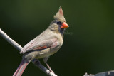 Northern Cardinal _H9G1122.jpg
