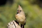Northern Cardinal immature _H9G3039.jpg