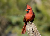 Northern Cardinal _H9G3060.jpg