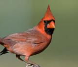 Northern Cardinal _H9G9632.jpg