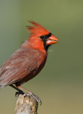 Northern Cardinal _H9G9638.jpg