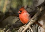 Northern Cardinal _H9G9722.jpg