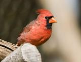 Northern Cardinal _MG_2064.jpg