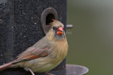 Northern Cardinal female _MG_2137.jpg