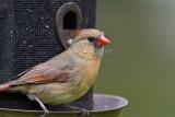 Northern Cardinal female _MG_2139.jpg