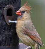 Northern Cardinal female _MG_2141.jpg
