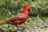 Northern Cardinal _MKR3926.jpg