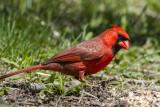 Northern Cardinal _MKR3929.jpg