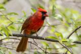 Northern Cardinal _MKR4682.jpg