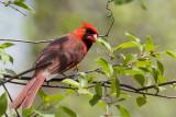 Northern Cardinal _MKR4713.jpg